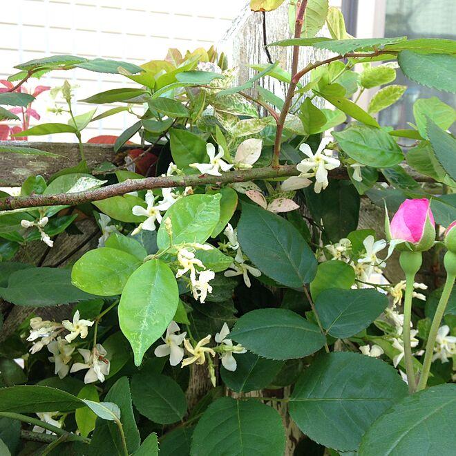 ガーデニング/Garden*/薔薇が大好き╰(✿´⌣`✿)╯♡/季節を感じる暮らし/挿し芽で増やすのインテリア実例 - 2016-05-13 09:46:20