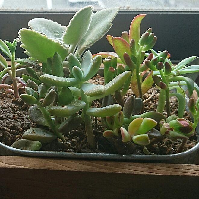 机/観葉植物のある部屋/多肉植物寄せ植え/癒される空間/観葉植物...などのインテリア実例 - 2016-07-25 08:19:21