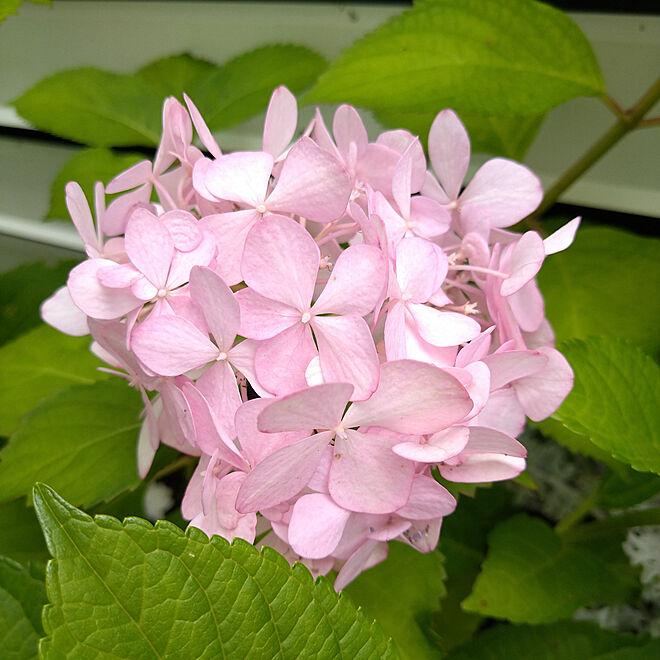 花のある暮らし/RCの出会いに感謝♡/グリーンのある暮らし/梅雨を乗り切ろう!/紫陽花...などのインテリア実例 - 2021-06-14 14:51:22