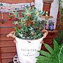 女性3LDK、セリア 庭 セリア♡My Shelfや植物やベランダやgardenなどに関するhana4504さんの実例写真