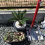 女性家族暮らし2LDK、ロックガーデン風玄関/入り口や立水栓や多肉植物寄せ植えやいつもいいねありがとうございます♡などに関するSaorinさんの実例写真