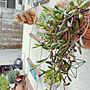女性家族暮らし、ビンカEntranceや玄関ガーデンやニトリや多肉植物などに関するcraneさんの実例写真