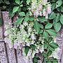 女性家族暮らし、東側ガーデンEntranceや植物のある暮らしやガーデンやガーデニングなどに関するAlohaさんの実例写真