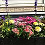 家族暮らし4LDK、垂れ桜My Shelfやガーデニングや寄せ植えやマリーゴールドなどに関するpunknさんの実例写真