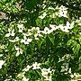 女性52歳の家族暮らし、モッコウバラ 白Overviewや新緑の庭や小鳥のさえずりが心地い〜♪やグリーンのある暮らし♡などに関するmilkann_さんの実例写真