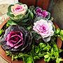 女性41歳の家族暮らし、グリーンもじゃもじゃEntranceや季節の花や葉牡丹白&紫や葉牡丹寄せ植えなどに関するTomokoさんの実例写真