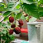 家族暮らし、自家栽培Loungeやニトリや自家栽培やブリキ缶などに関するsakagonさんの実例写真