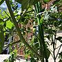 家族暮らし3LDK、ミニ菜園Entranceやミニトマト栽培やガーデニング初心者や育ててます!などに関するnacchi4さんの実例写真