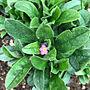 女性家族暮らし、サークル花壇Entranceやピンクの花や忘れな草や花壇などに関するYokoさんの実例写真