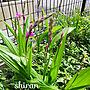 女性51歳の家族暮らし、そんなん知らんと紫蘭を覚えるEntranceやありがとう❤やRC の出会いに感謝!や花と緑のある暮らしなどに関するmilkann_さんの実例写真