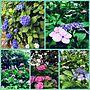 女性、100均めぐりOn Wallsや100均めぐりや紫陽花苑へ♡や紫陽花などに関するtomoさんの実例写真