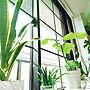 女性2LDK、マステ格子窓My Shelfや観葉植物やモンステラ♡やウンベラータ♡などに関するruさんの実例写真