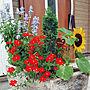 女性家族暮らし、赤い花Entranceや夏や赤い花や玄関前 ガーデニングなどに関するtulipさんの実例写真