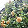 女性50歳の家族暮らし4LDK、オールドローズEntranceやガーデニングやバラやオールドローズなどに関するyum0408さんの実例写真