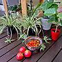 女性家族暮らし、ブッシュバジルEntranceやミニトマト収穫や観葉植物やガーデニングなどに関するmuuさんの実例写真