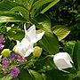 女性で、の飯炊きババァになるさ/台風に負けずに咲く/キキョウ/紫陽花/ガーデニング/大切なもの✨…などについてのインテリア実例を紹介。