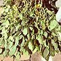 女性39歳の家族暮らし4LDK、枝豆Kitchenや家庭菜園や枝豆や大収穫祭などに関するmami.さんの実例写真