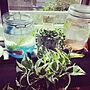 女性36歳の家族暮らし、緑があるキッチンKitchenや観葉植物やナチュラルや多肉植物などに関するtomochinさんの実例写真