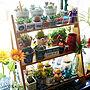 女性36歳の家族暮らし、ミニサボテン棚やグリーンやオブジェや多肉植物などに関するtomooo-7さんの実例写真