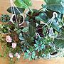 My Desk/植物/バラ/マンション/日替わり投稿企画!木曜日に関連する部屋のインテリア実例
