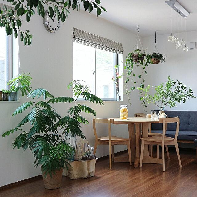 My Desk,観葉植物,シェードカーテン,ダイニングテーブル,ダイニング,インドアグリーン,NO GREEN NO LIFE,ナチュラル,丸テーブル,ラウンドテーブル,旭川家具,窓,季節を愉しむ,植物,ハンギング,エバーフレッシュ moniの部屋