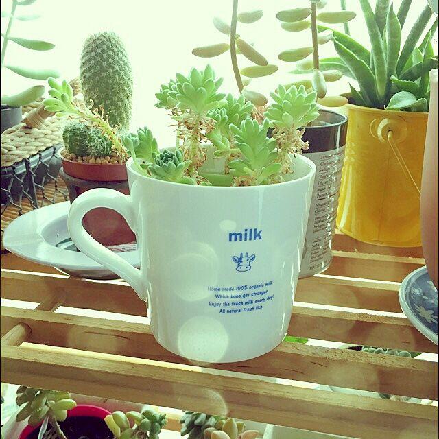 My Shelf,マグカップ,サボテン,多肉植物,ダイソー asita..asatteの部屋